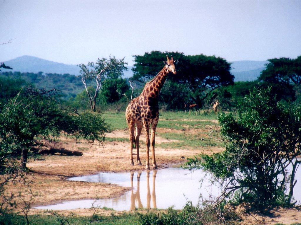 Achtergronden Giraffe