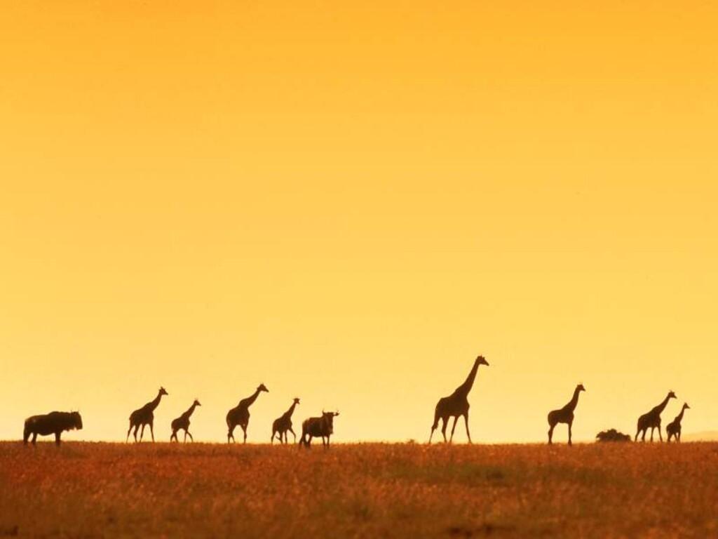 Achtergronden Giraffe 187 Animaatjes Nl