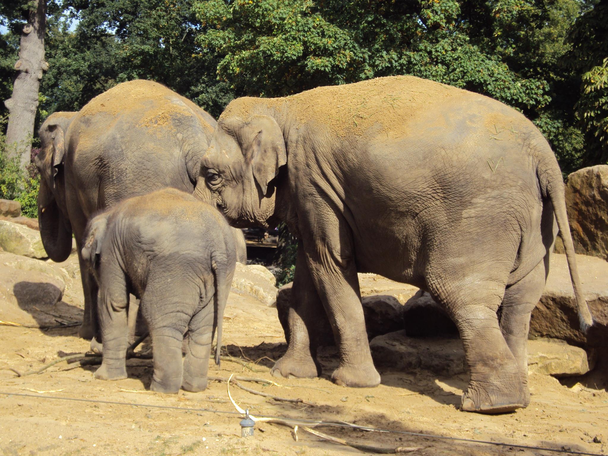 olifanten achtergronden bureaublad - photo #11