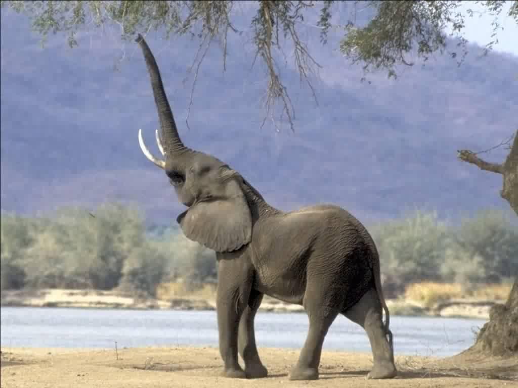 Olifanten Achtergronden