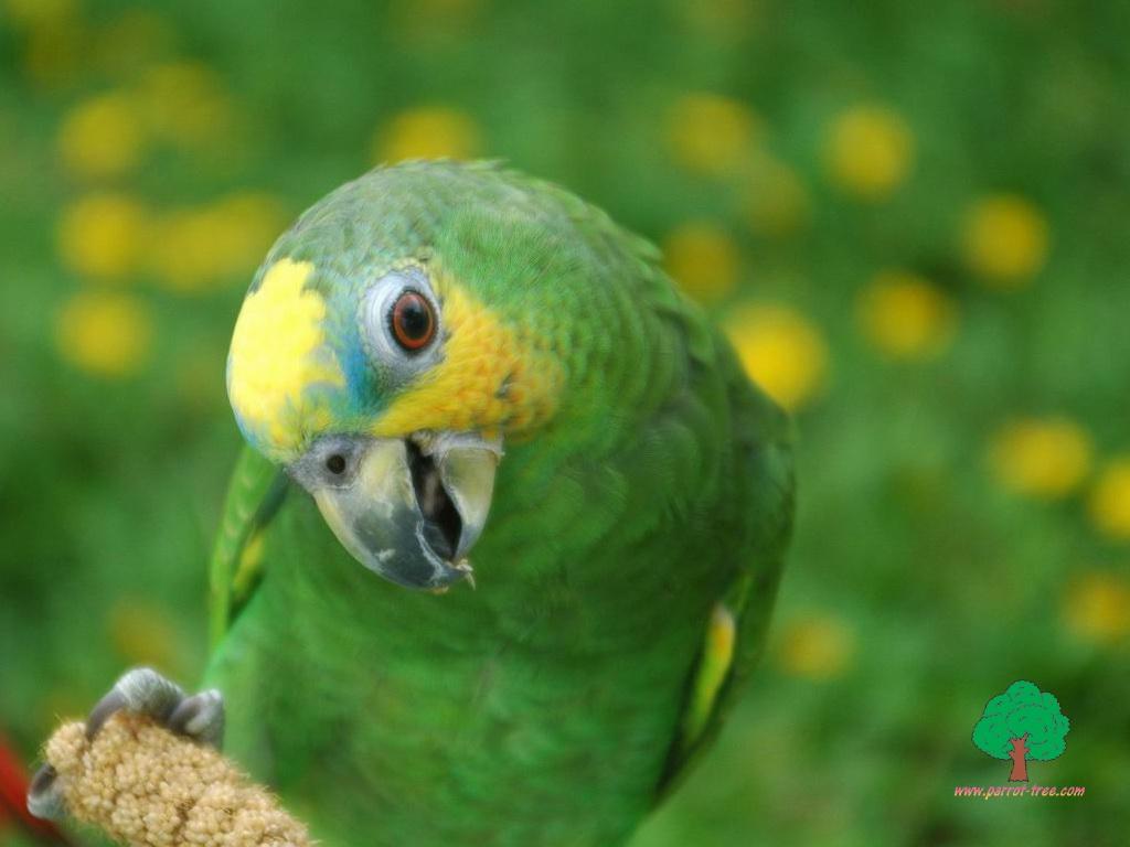 Achtergronden Papegaai