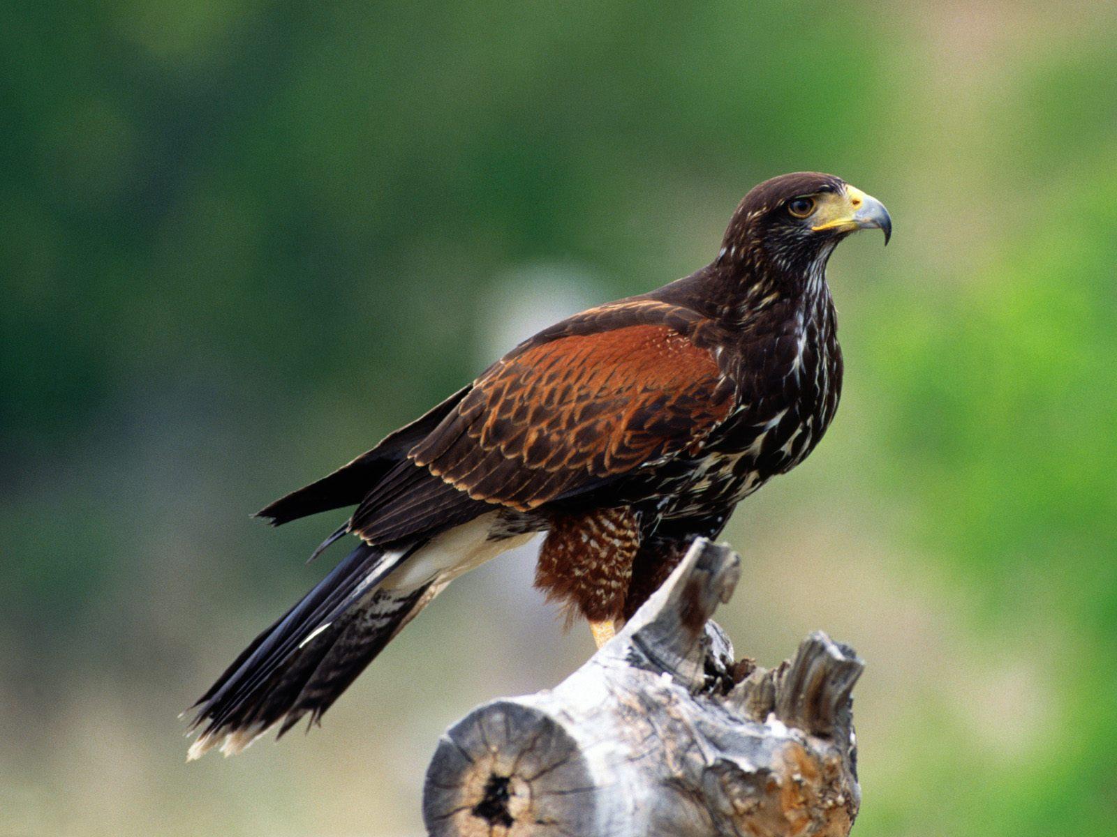 Achtergronden Roofvogels