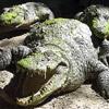 Dieren Avatars Krokodil