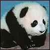 Dieren Panda Avatars