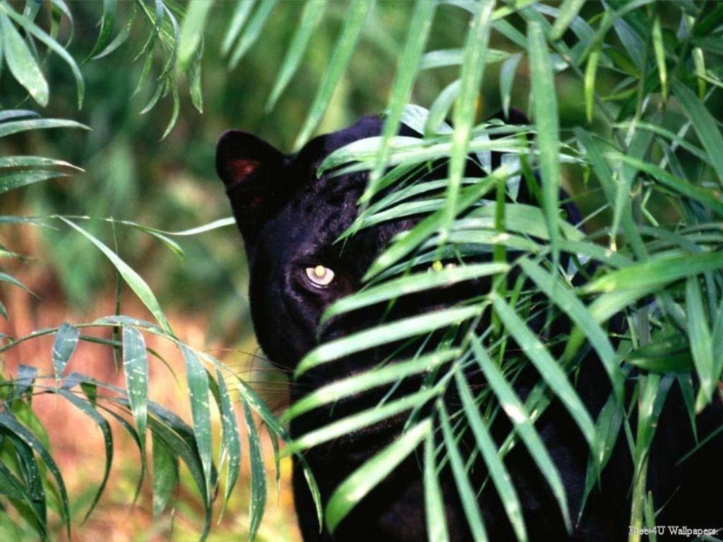 Dieren Avatars Zwarte Panter