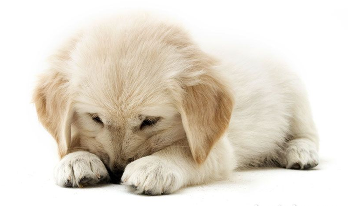 en animaties bewegende golden retriever plaatjes golden retriever ... Golden Retriever And Baby