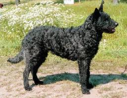 Honden plaatjes Hollandse herder