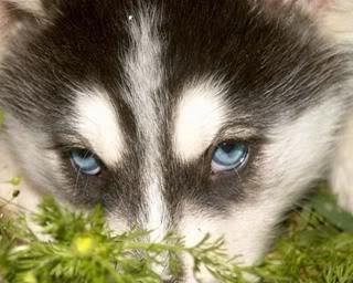 Honden plaatjes Husky
