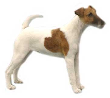 Honden plaatjes Jack russel