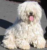 Honden plaatjes Puli