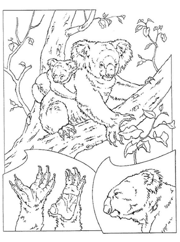 Koala Kleurplaat Dieren Kleurplaat Animaatjes Nl