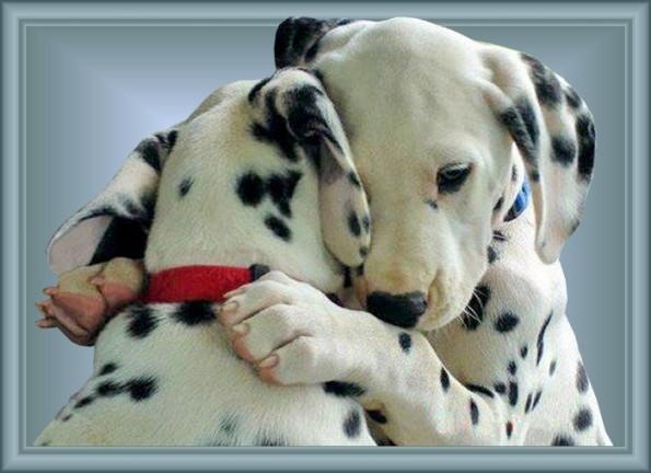 Honden Plaatje - Dalmatiers knuffelen