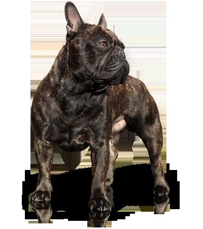 zwarte bulldog