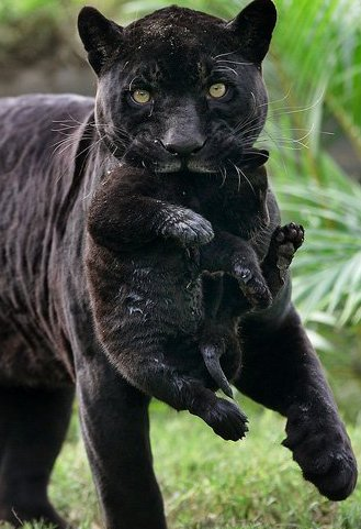 Zwarte panter symboliek
