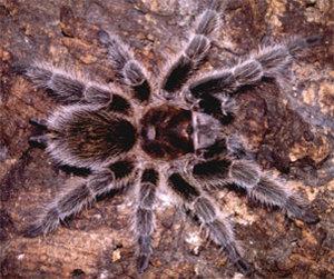 Kleurplaten Vogelspinnen.Vogelspin Dieren Animaatjes Nl