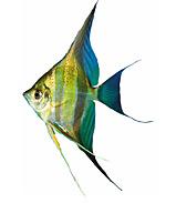 Vissen plaatjes Maanvissen