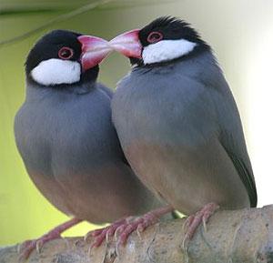 Vogel Plaatjes Rijstvogel 187 Animaatjes Nl