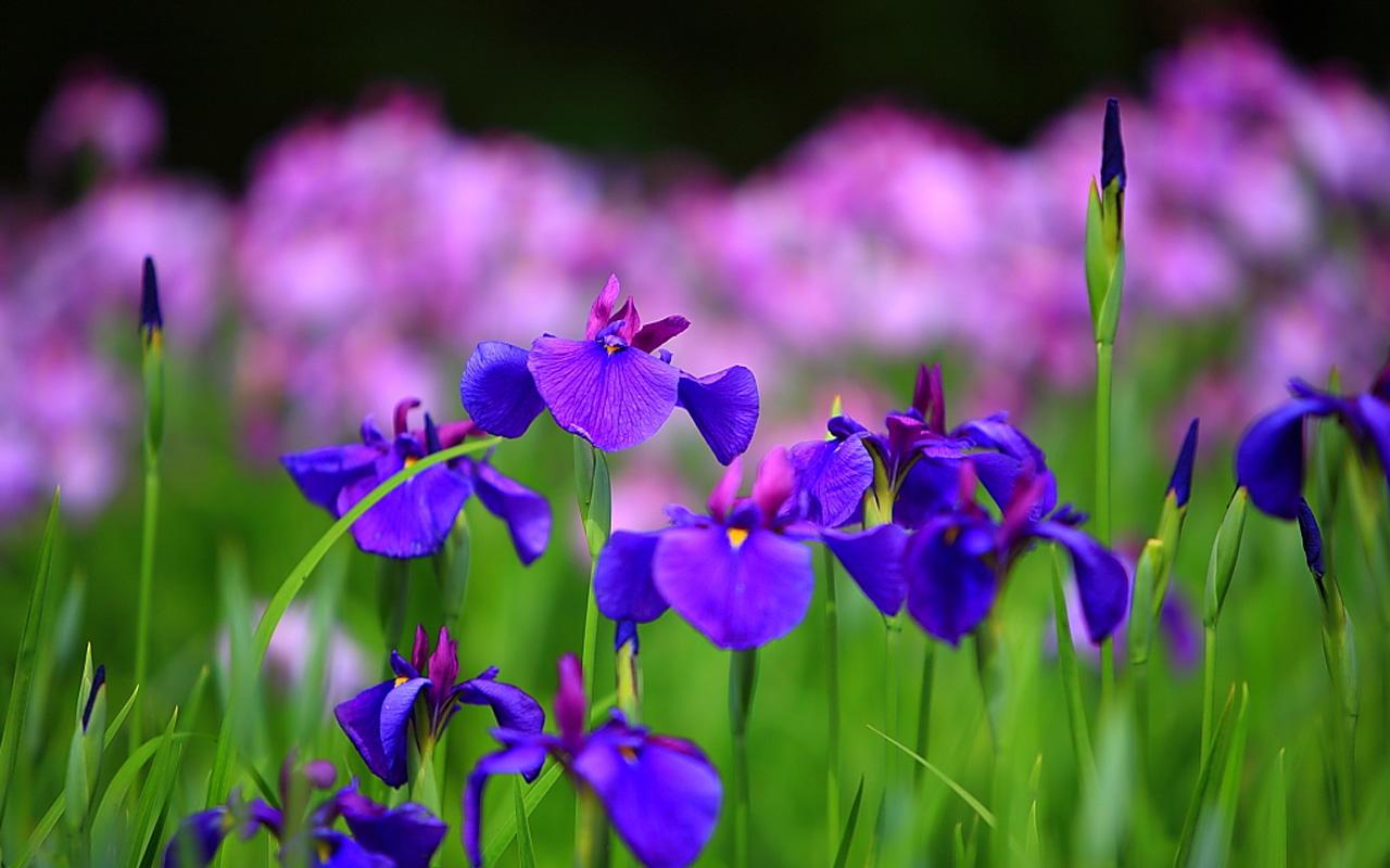 weide met iris bloemen